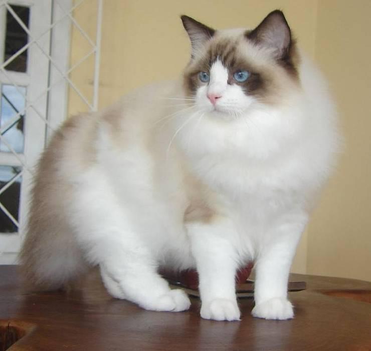 Pisică din rasa Ragdoll