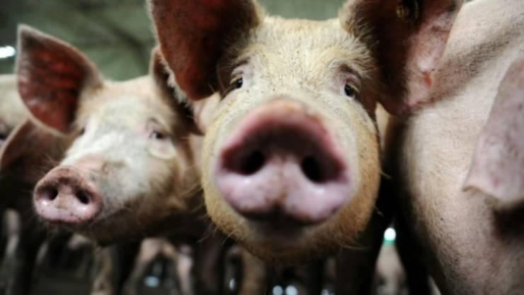 Noul virus G4, de origine porcinà, are toate caracteristicile pentru a provoca o pandemie