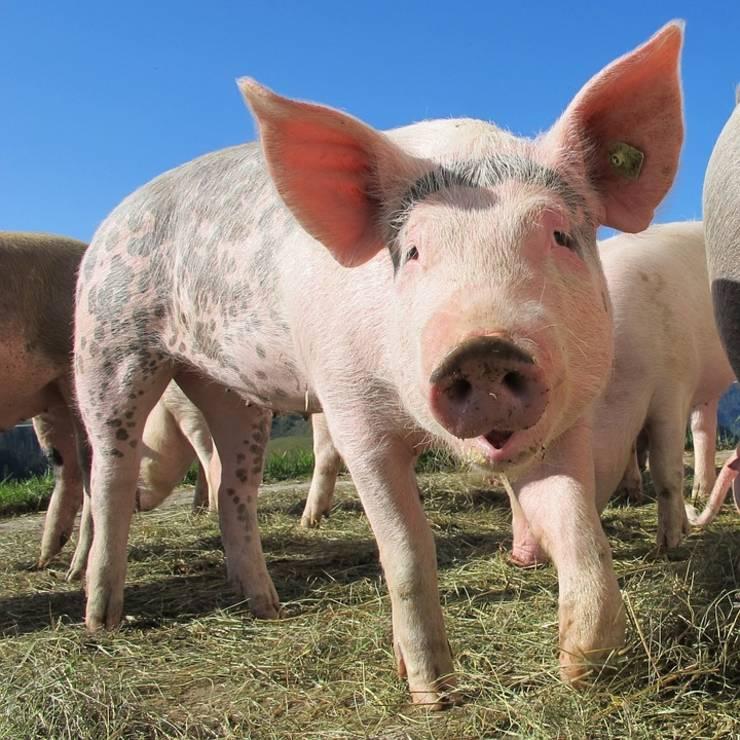 Povestea porcului. Știm ce este de făcut, cum trebuie făcut, dar nimeni nu are curajul să facă.