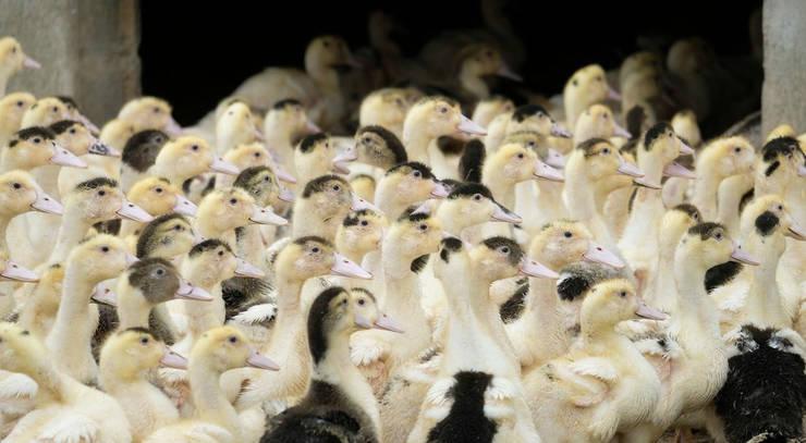 Sute de mii de pasari - rate si gaste au fost sacrificate în decembrie si in ianuarie pentru a fi eradicate focarele de gripa aviara în Franta.