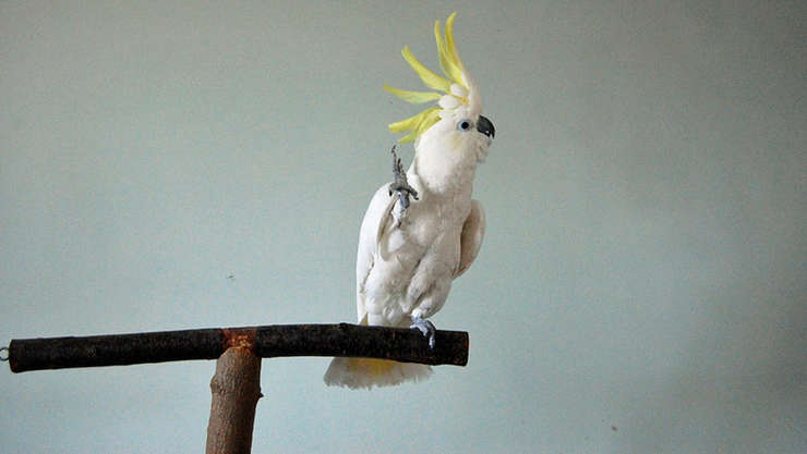 Papagalul Bulgăraș, dansând pe muzica trupei Queen