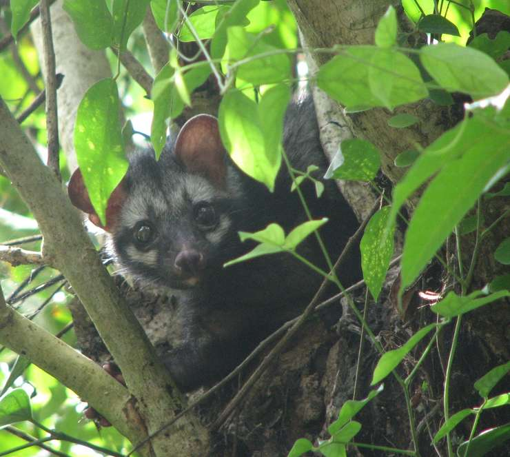 Luwak sau pisica de palmier