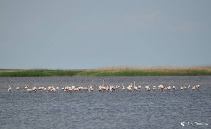Păsări flamingo (Foto: Emil Todorov via SOR)