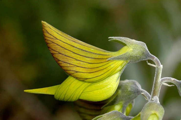 Crotalaria cunninghamii (Sursa foto: D. Blumer)