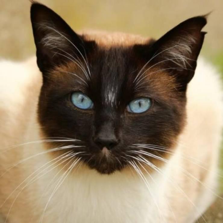 Pisică siameză
