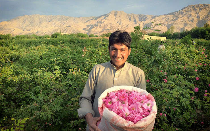 Tanar afgan intr-un camp de trandafiri, cu un sac de trandafiri recoltati