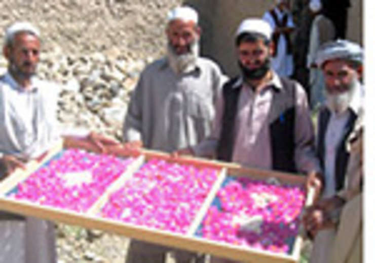 trandafiri crescuti si recoltati in Afganistan