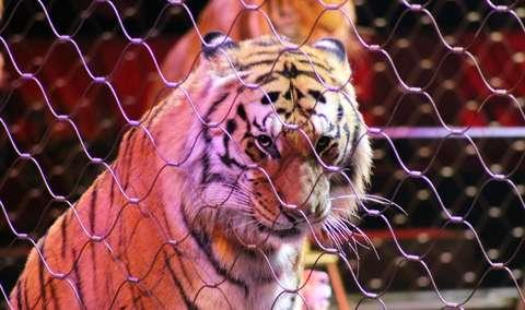 Vier Pfoten: Animalele sălbatice pensionate de la Circ rămân niște legume