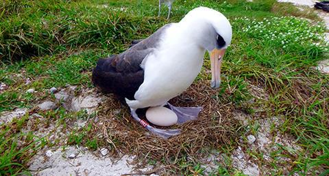 Insolit: Cea mai bătrână pasăre de apă din lume va fi din nou mamă