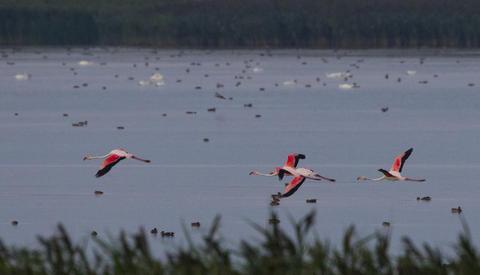 (FOTO) Apariţie extrem de rară: păsări flamingo în Delta Dunării