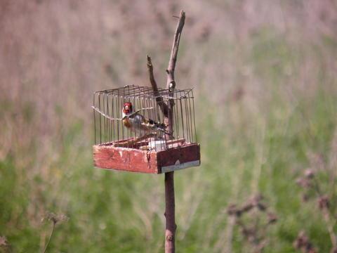 Păsările cântătoare din Bucureşti, victimele braconierilor. Metodele barbare folosite de aceştia